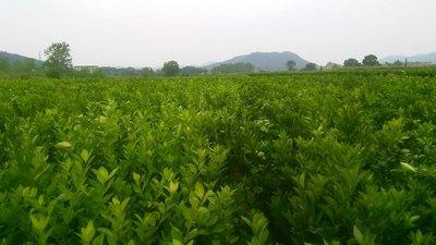 醴陵油茶产业项目